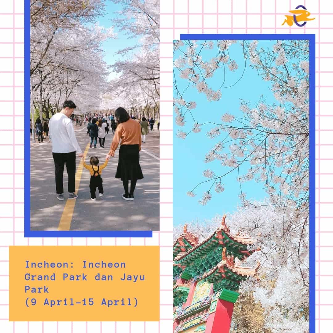 Jadwal Musim Sakura di Korea 2019 Incheon Grand Park dan Jayu Park