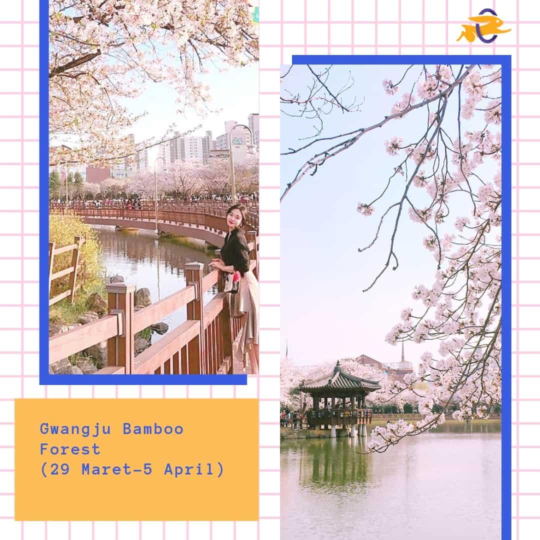 Jadwal Musim Sakura di Korea 2019