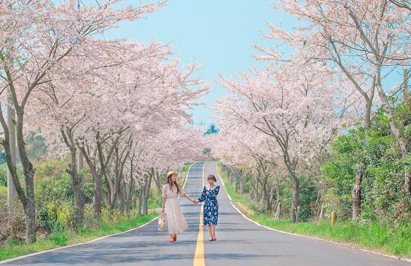 Tempat dan Waktu Terbaik: Jadwal Musim Sakura di Korea 2019